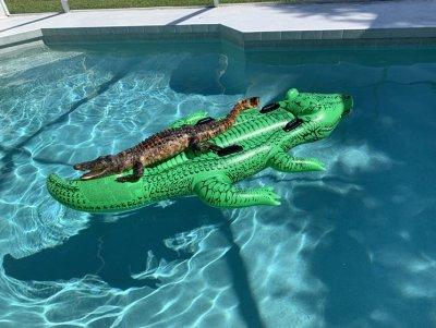 alligator_pool_float.jpeg
