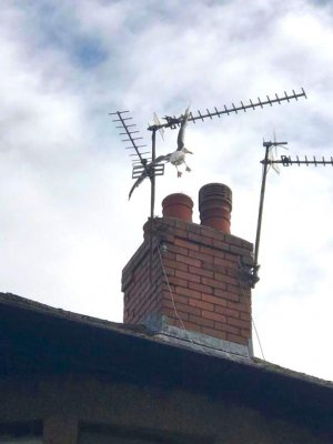 Firefighters-rescue-seagull-impaled-on-rooftop-TV-antenna.jpg