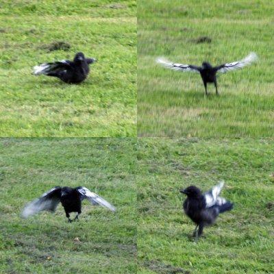 crow flying exercises 09-06-2016.jpg