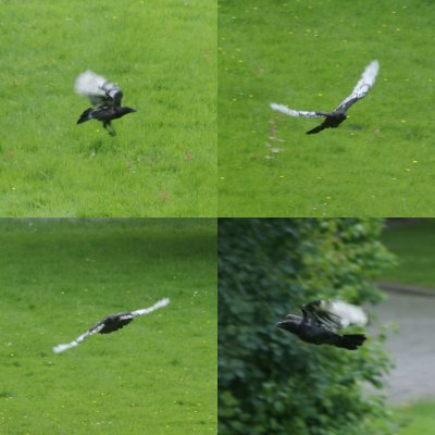 crow flying 26-06-2016.jpg