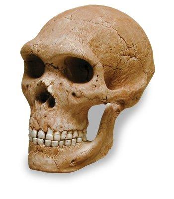 neanderthalskull.jpg