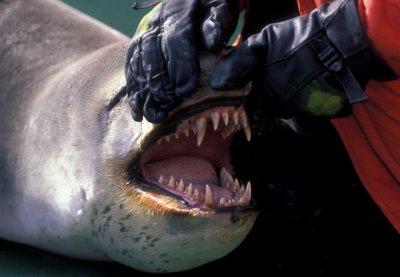 nmmlweb-leopard-seals-2.jpg