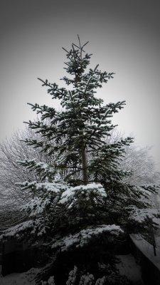 Conifer.JPG