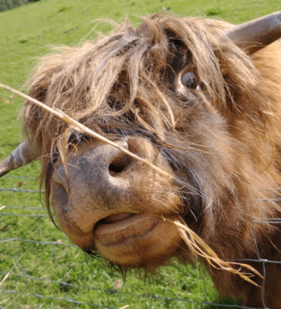 Highland Cow.png