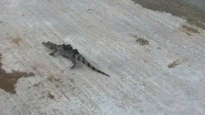 Alligator-Chew-Valley-Lake.jpg