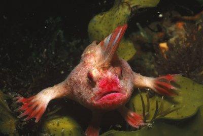 RedHandfish.jpg