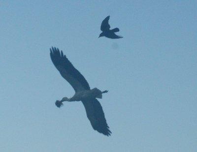 crow-stork.jpg