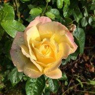 The English Rose